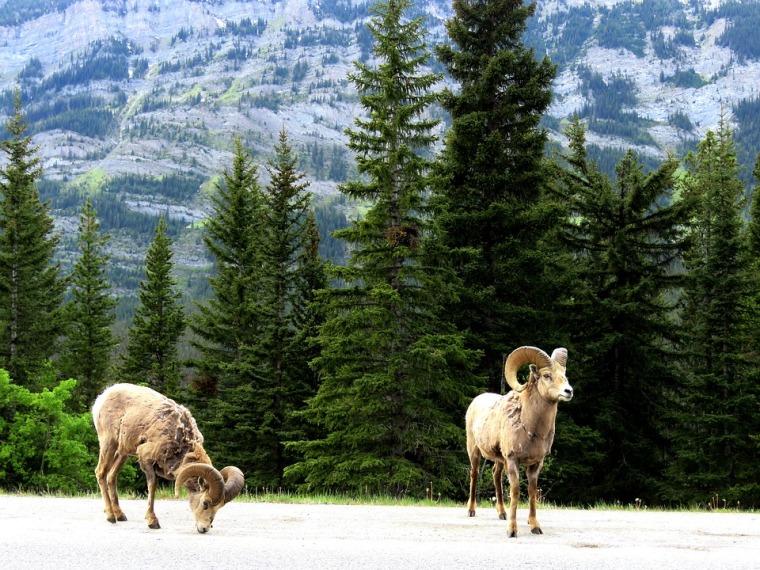 mountain-goat-1429859_960_720